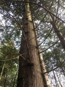 photograph looking up a conifer in the forest