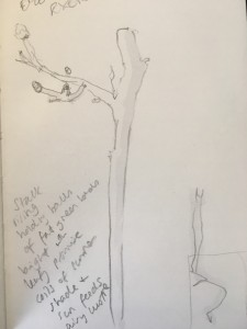 drawing of a sapling with a branch to the left with buds